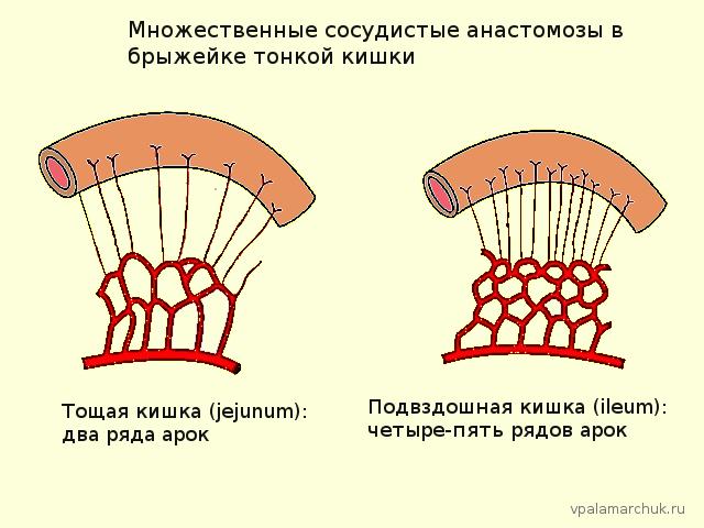 1.Кровообращение-тонкого-кишечника